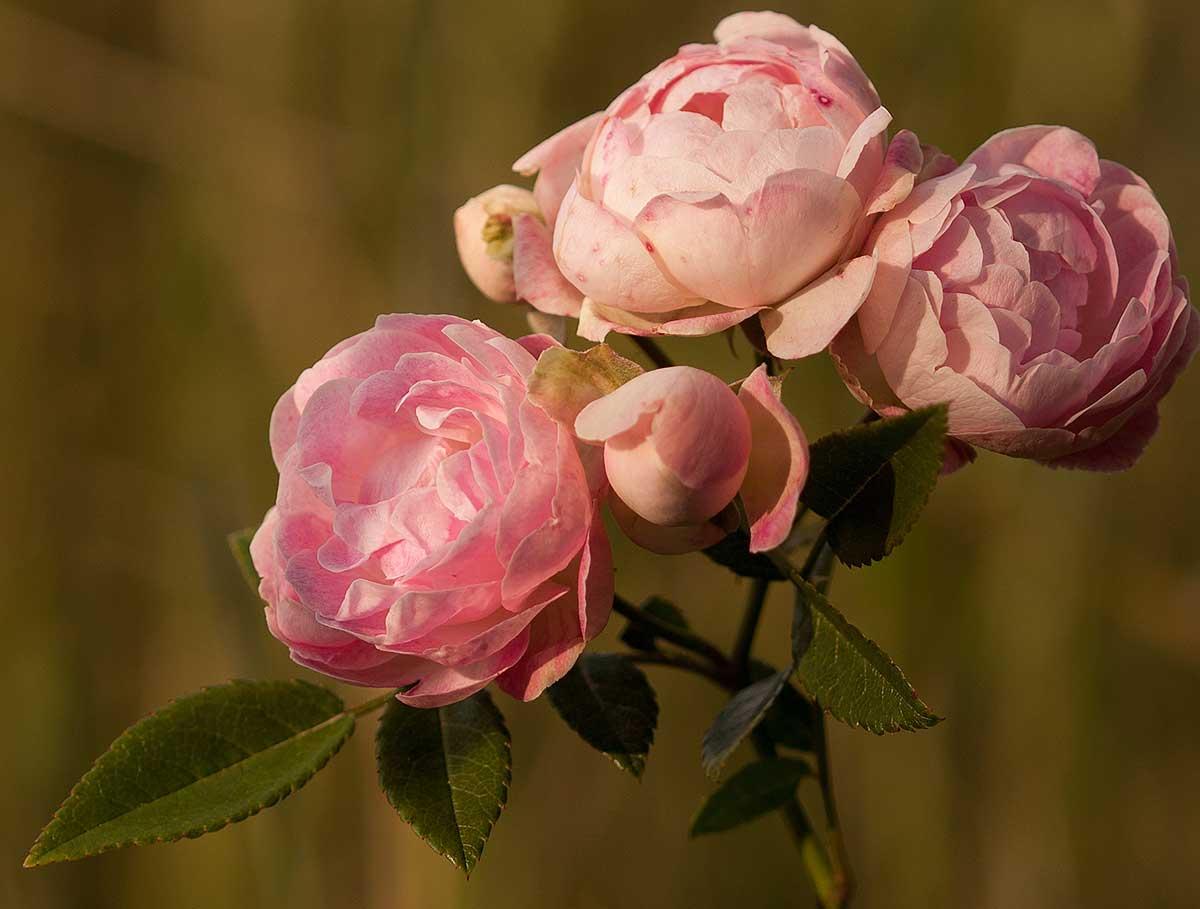 roża-kutno--