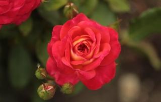 Róża Gebrüder Grimm, Aquapark Kutno