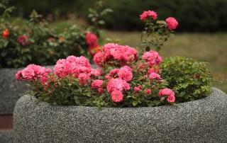 Róża Bad Birnbach w gazonie na ul. Kościuszki