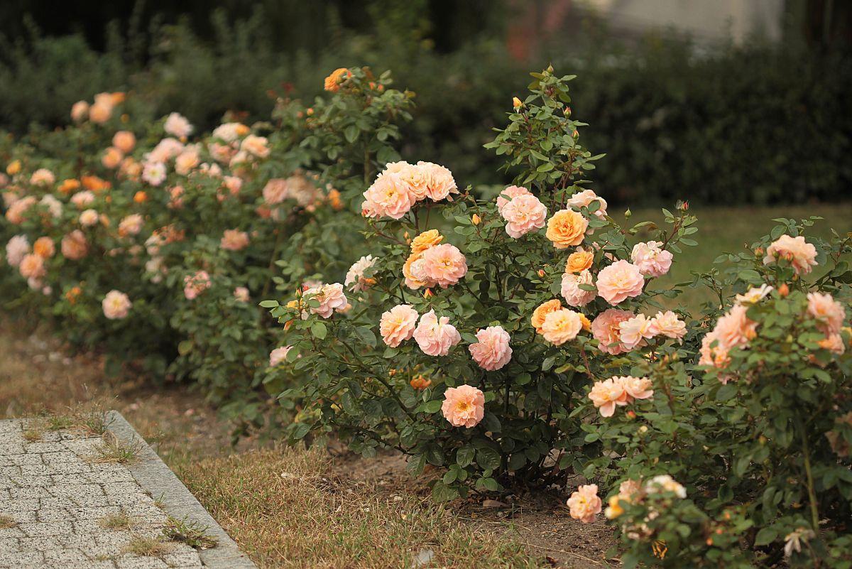 Róża Lady kutno, Park Traugutta