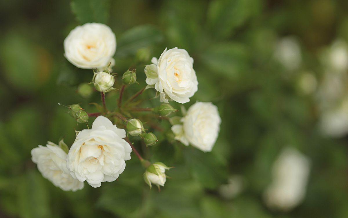 Róża przy ul. Zamoyskiego