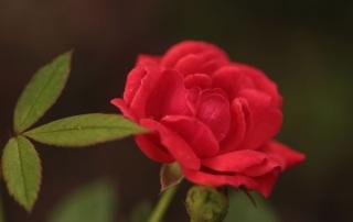 Róża Marylka, Dworek Modrzewiowy