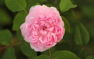 Róża historyczna Jacques Cartier, Dworek Modrzewiowy