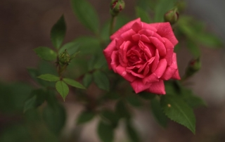 Róża Marylka, Park Traugutta