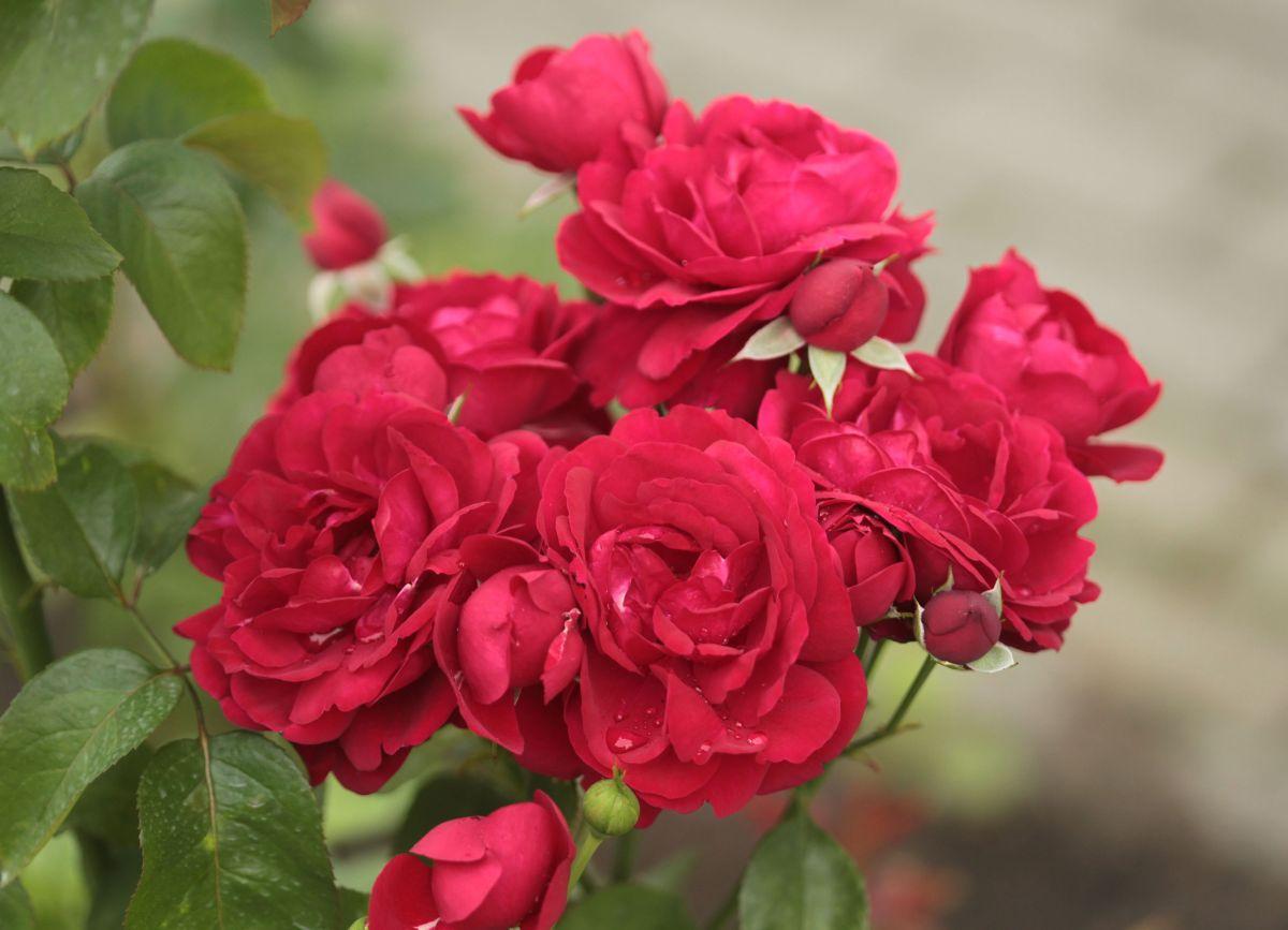 Róża parkowa przy Liceum im. gen. J. H. Dąbrowskiego