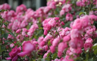 Róża Angela, Park Traugutta