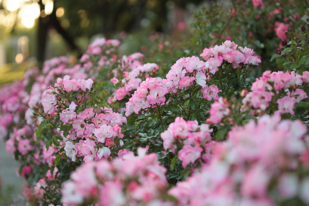 Róża Dolomiti, Park Traugutta