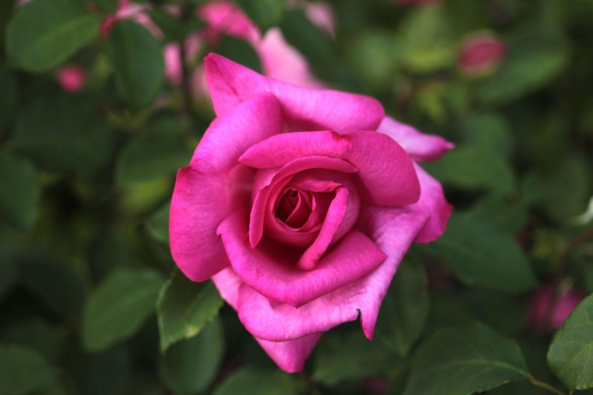 Róża Parole, Park Traugutta