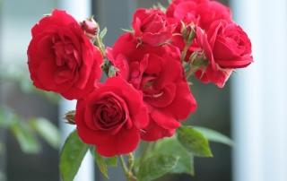 Róża Amadeus, Park Traugutta