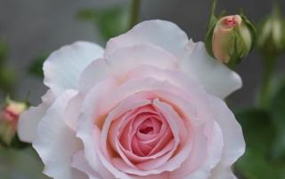 Róża Larissa, Park Traugutta
