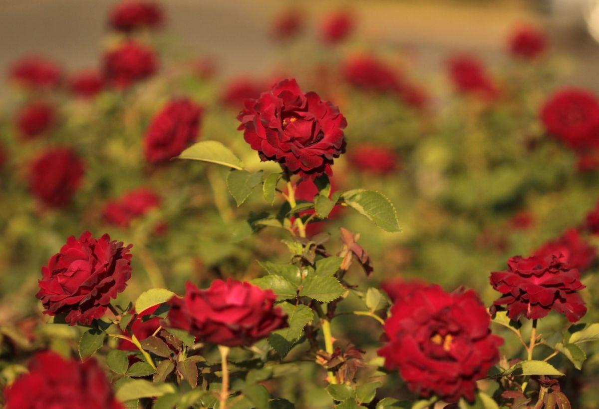Róża Hommaga a Barbara, Park Traugutta