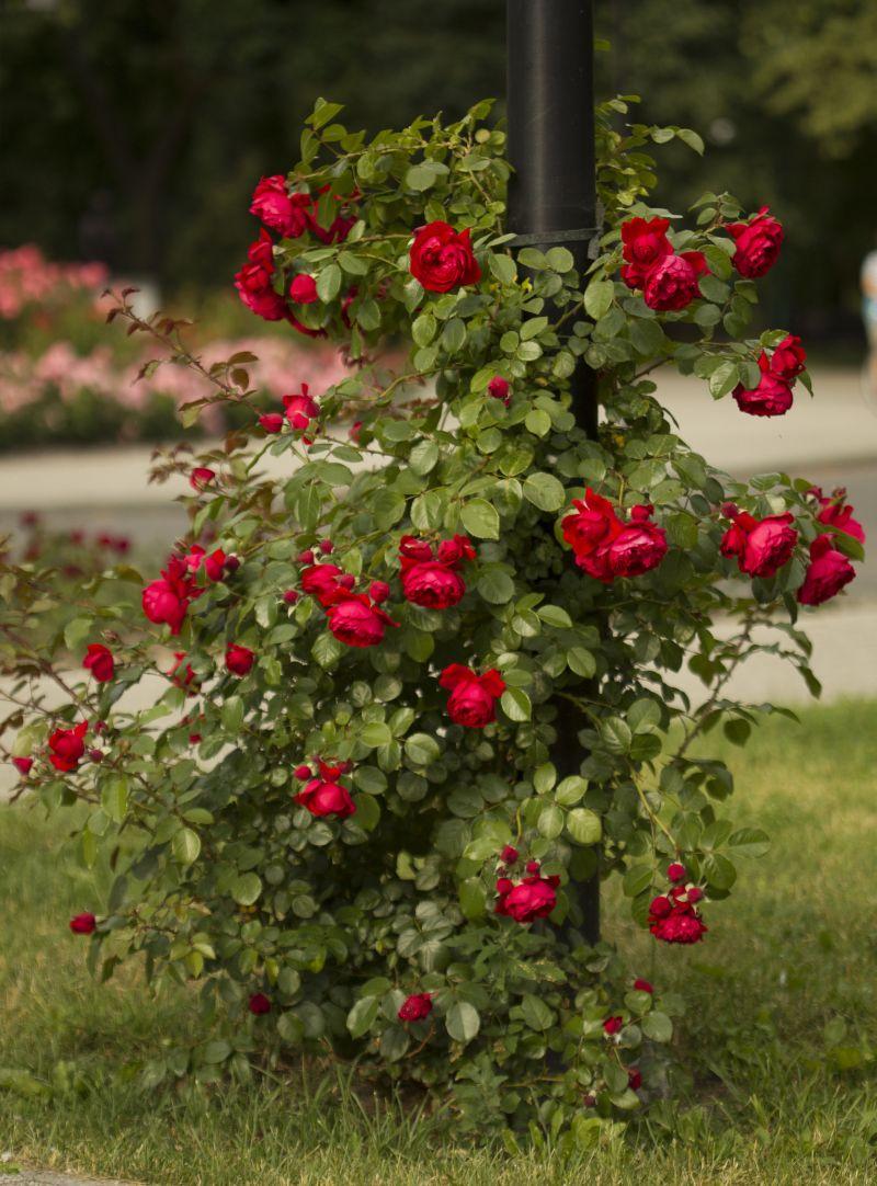 Róża Florentina, Park Traugutta
