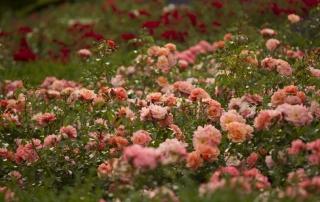 Róża Aprikola, różanka w Parku Traugutta