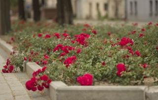 Róża Gärtnerfreude, ul. Narutowicza