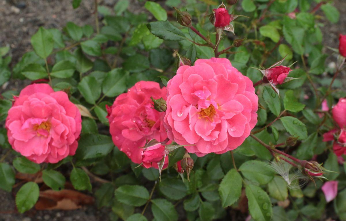 Róża Bad Birnbach, Park Traugutta