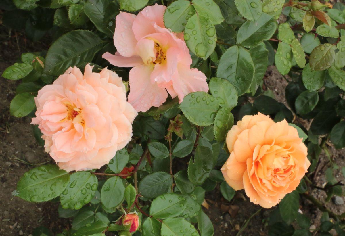 Róża Lady Kutno, ul. Jana Pawła II