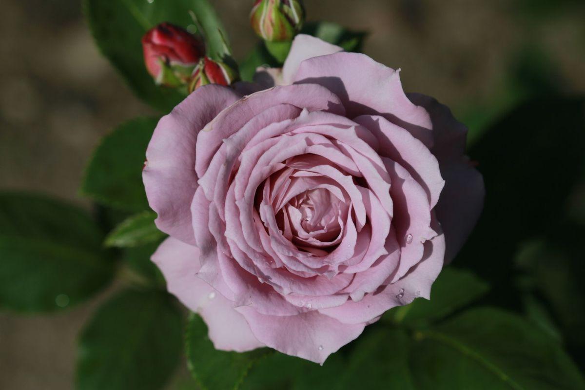 Róża Novalis, Pl. Piłsudskiego
