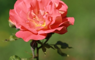 Róża Aprikola, Park Traugutta