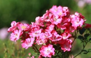 Róża Lupo, Park Traugutta