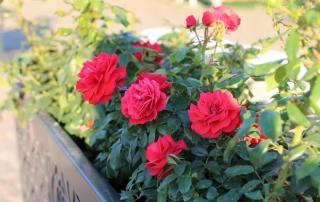 Róże w gazonach na Placu Piłsudskiego