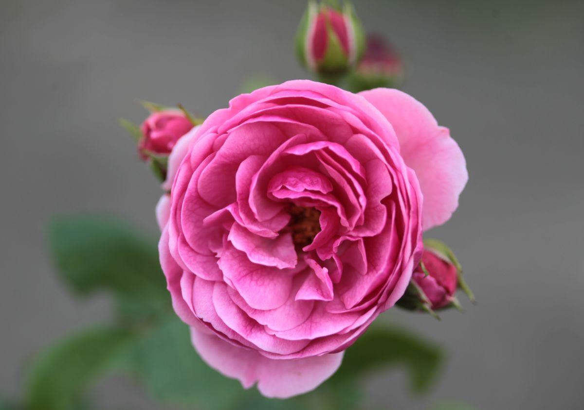 Róża Pomponella, ul. 1 Maja
