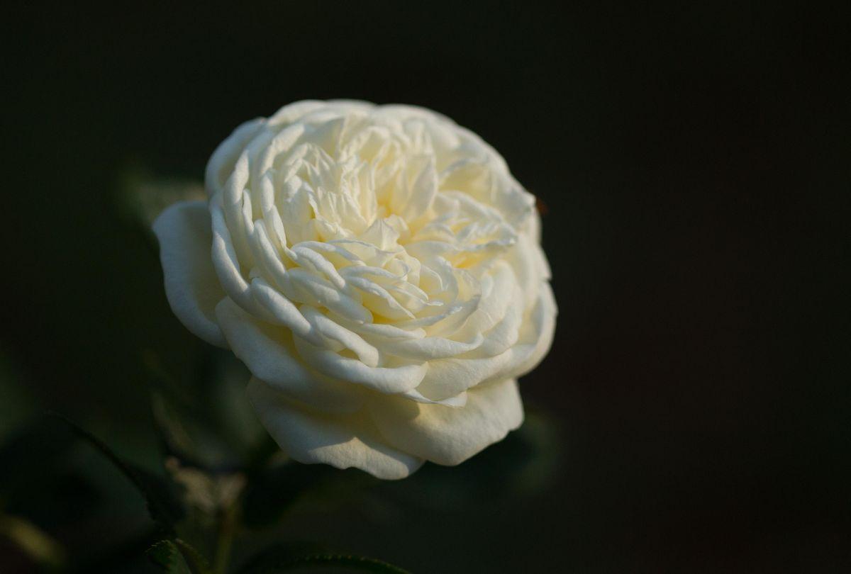 Róża Artemis, Park Traugutta
