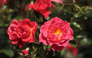 Róża Melusina, Rondo Róż