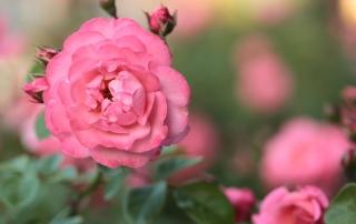 Róża parkowa Mein schöner Garten, W. Kordes' Söhne 1997 / Park Traugutta