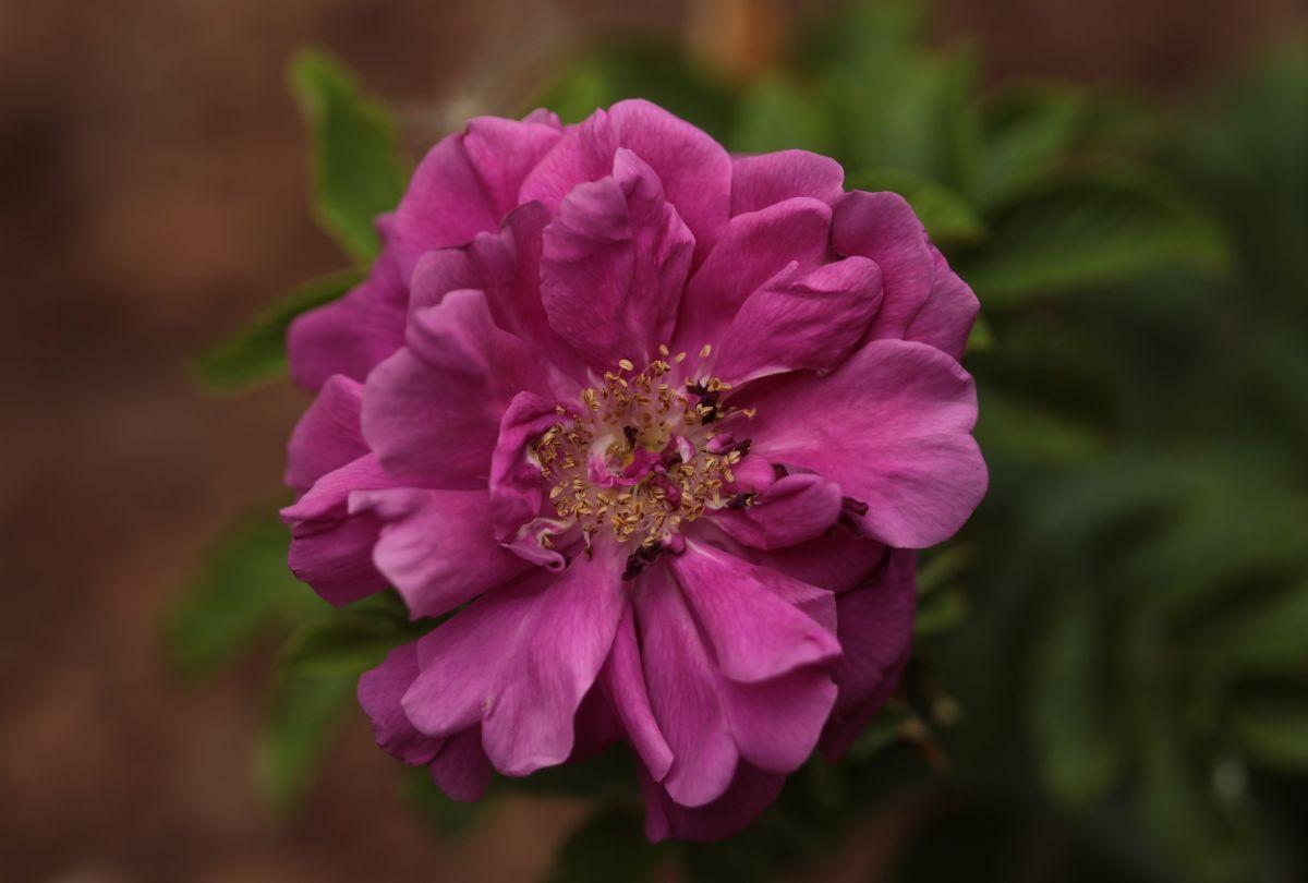 Rosa rugosa 'Hansa', Park Traugutta