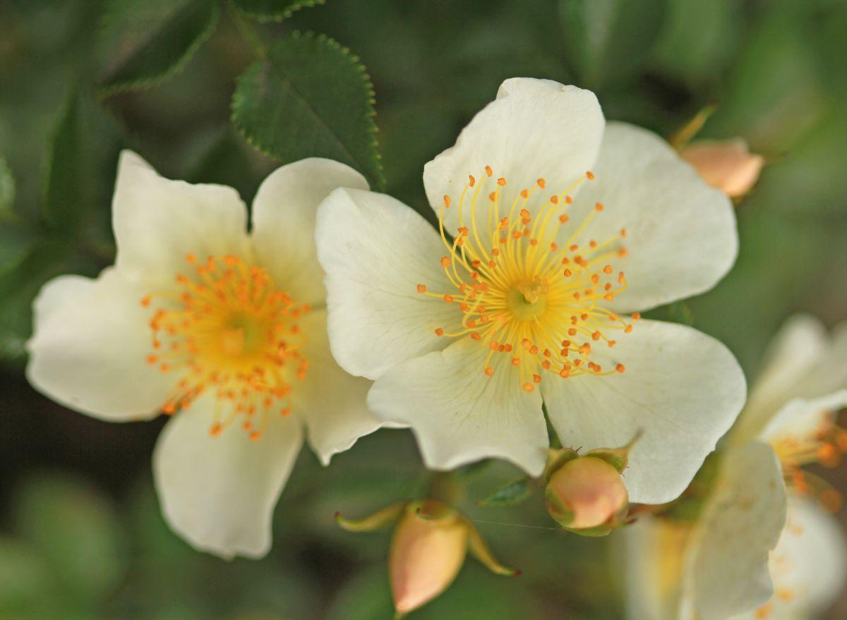 Róża miniaturowa, Park Traugutta