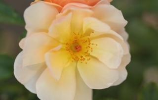 Róża Amber Sun, Park Traugutta