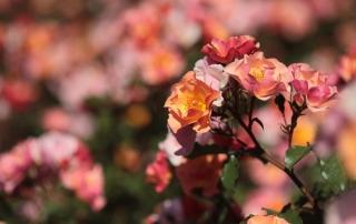 Róża Jazz, Rondo Pileckiego
