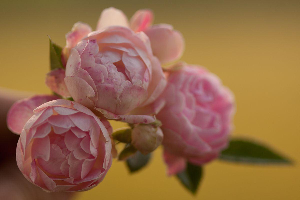 Róża Kutno, Park Traugutta