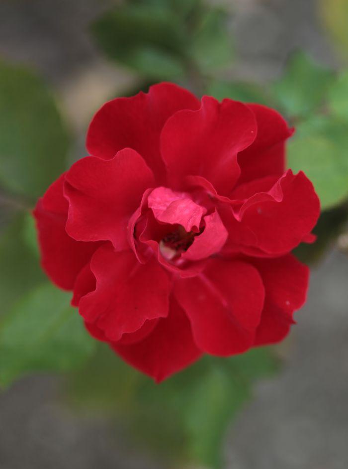 Róża Roter Korsar, Park Traugutta