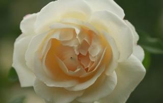 Róża KOSMOS, Park Traugutta