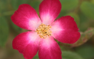 Roża Star Profusion, Park Traugutta